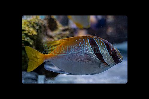 Two Barred Rabbitfish