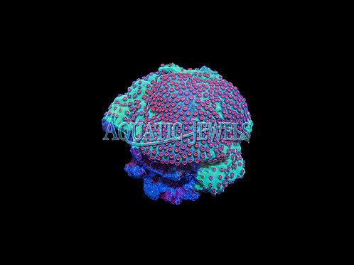 Pink Head Lesser Knob Coral (Cyphastrea)