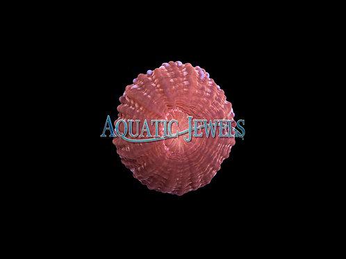 Red Button Coral (Cynarina Lacrymalis)