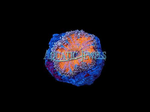 Orange and Blue Yuma (RicordeaYuma)