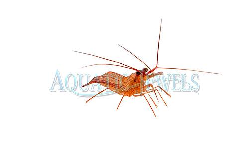 Peppermint Shrimp