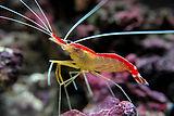 Lysmata-amboinensis-Skunk-cleaner-shrimp