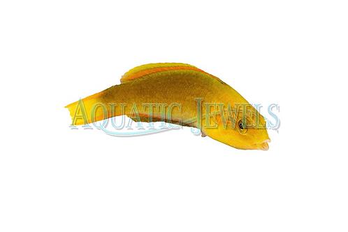 Banana Wrasse (Male)