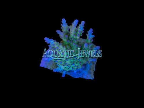 Green Acro (Acropora)