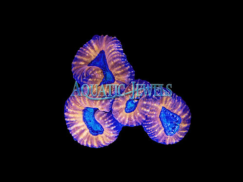 Orange and Blue Lobo (Lobophyllia)