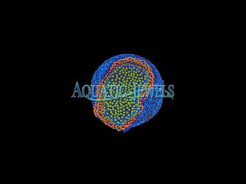 Fruit Pebbles Monti (Montipora)