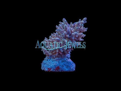 Rainbow Acro Colony (Acropora)