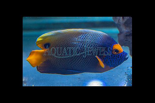 Blue Face Angelfish