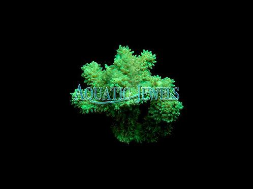 Neon Green Hydnophora (Hydnophora)