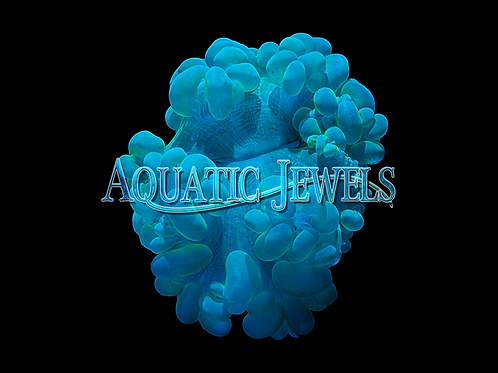 Neon Green Bubble Coral (Plerogyra Sinuosa)