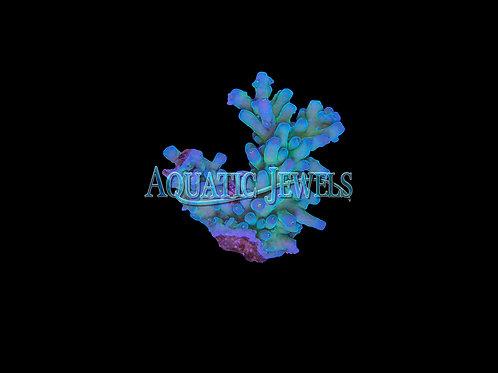 Greenish Blue Acro (Acropora)