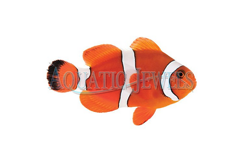 Blood Orange Clownfish