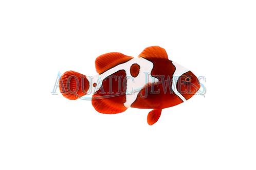 GoldxLightning Maroon Clownfish