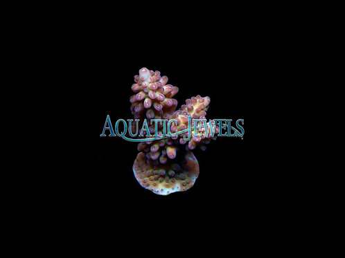 Purple Gem Acro (Acropora)