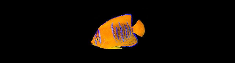 Clarion Angelfish.jpg