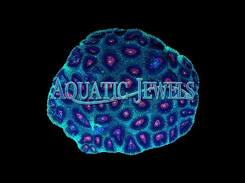 Brain Coral (Favia sp.)