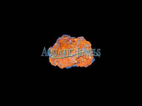 Orange Rhodactics Rock (Rhodactis spp.)