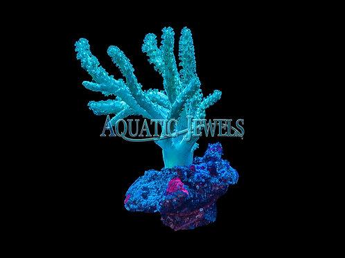 Finger Leather (Alcynoium sp)