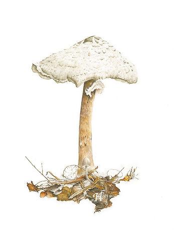 Helen Cavalli Parasol Mushroom 2019.jpg