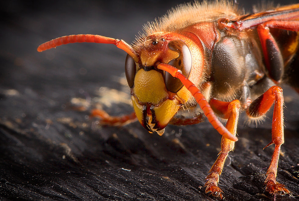 huge-european-hornet-dangerous-predatory