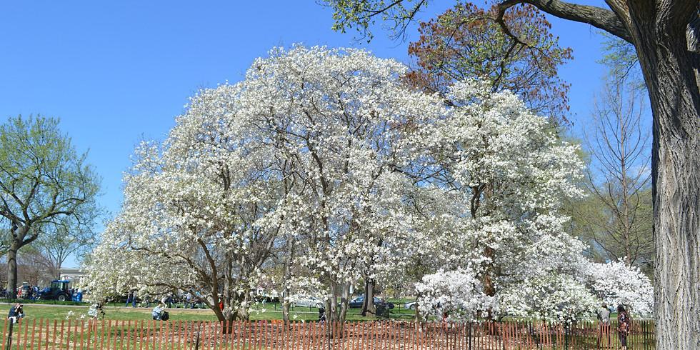 D.C Cherry Blossom  Day Tour