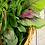 Thumbnail: Beteku teku Leaves (CONGO) / Shoko leaves