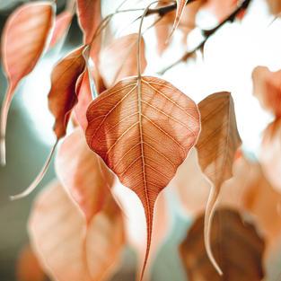 bo-leaf-5351180_1920.jpg