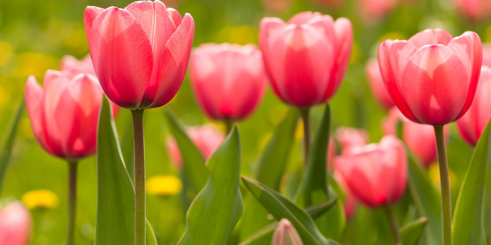 Spring Bulbs for Months of Colour