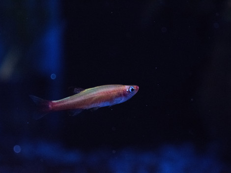 "Tanichthys albonubes ""albino"""