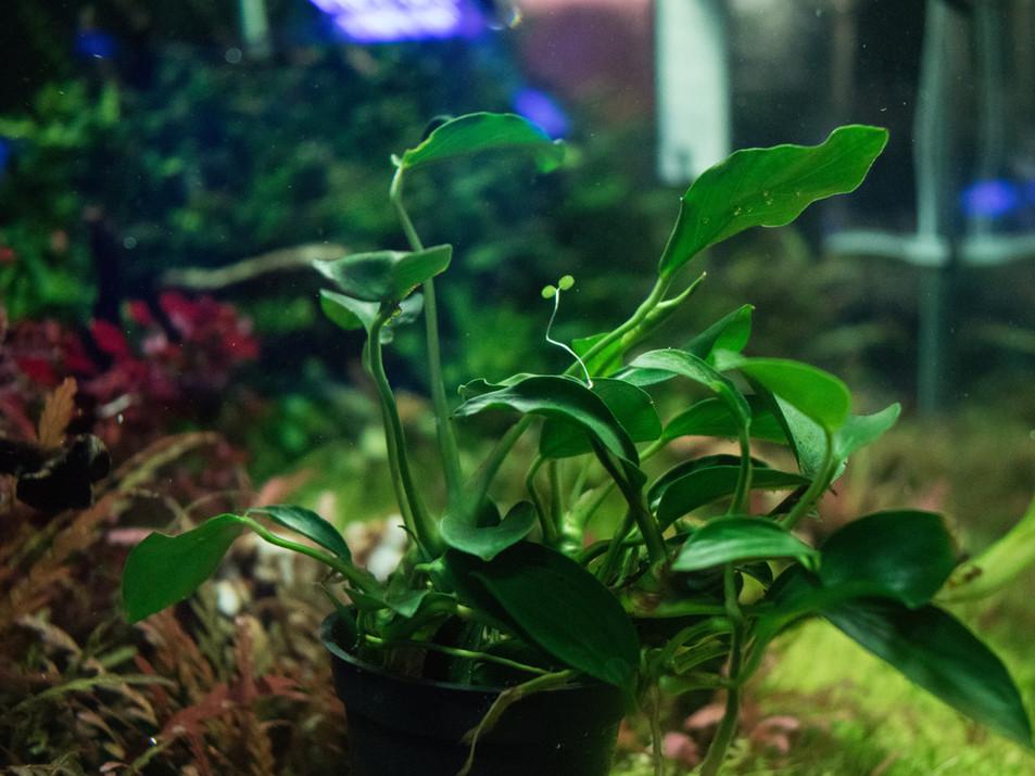 Anubia nana sp. paxing