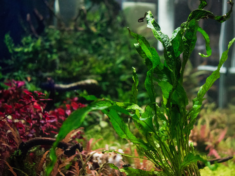 Microsorum pteroptus