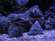 Dunckerocampus Dactilophorus