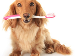Canine Dental Cleanings