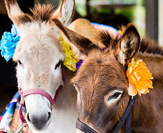 Beer Burros hired for Events