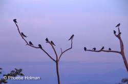 Oriental Magpie's perch