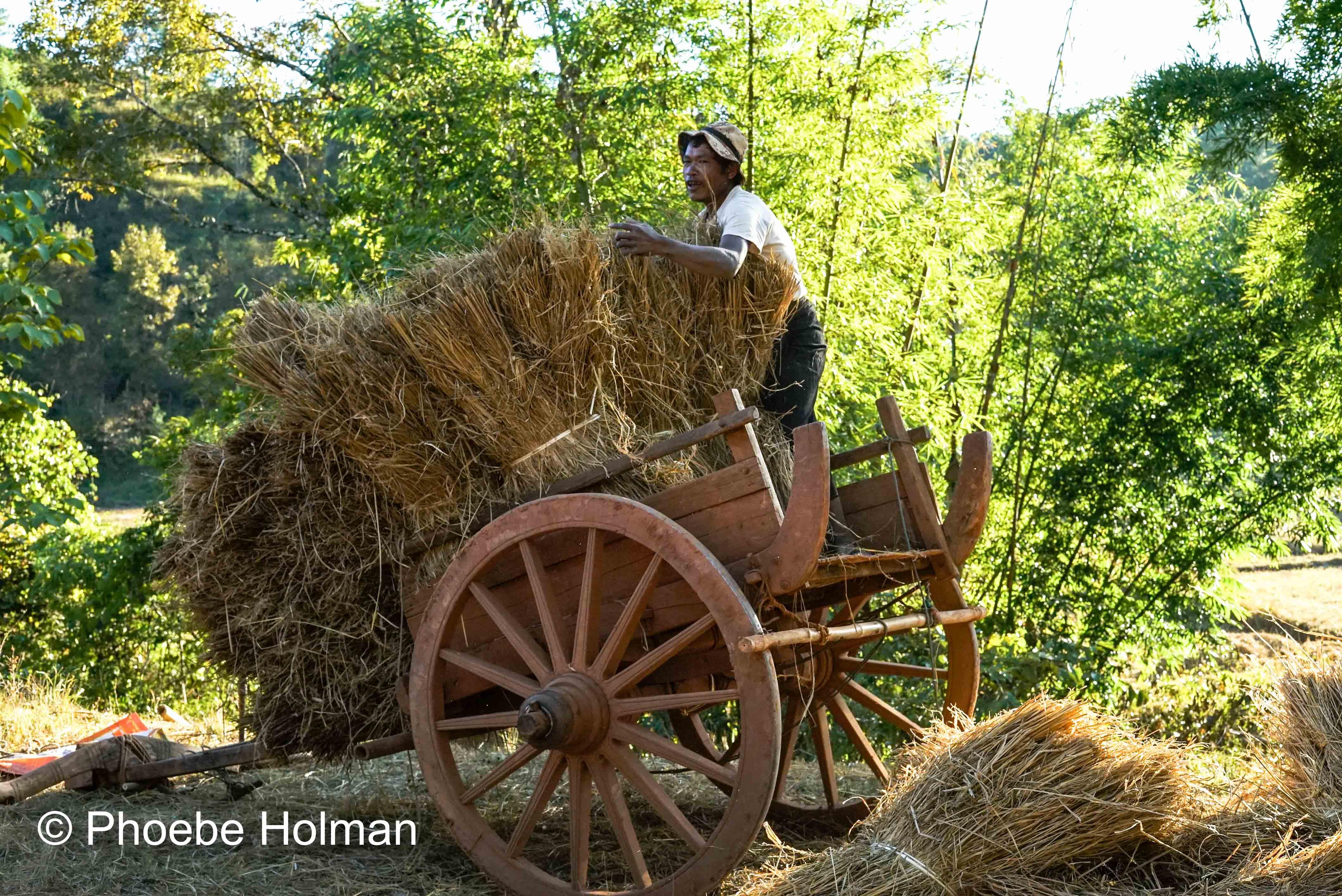 Burmese Farmer bailing hay