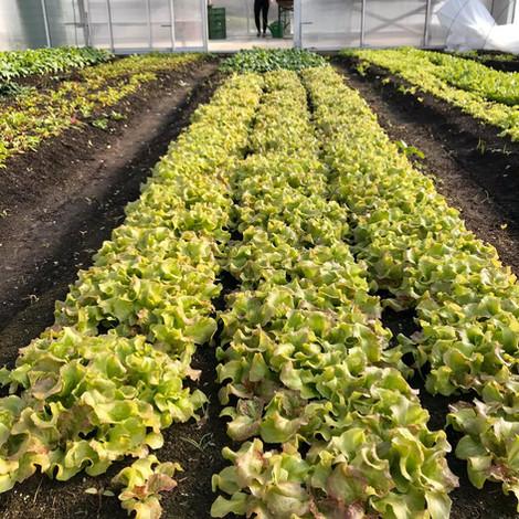 Batavia Baby Leaf Salat