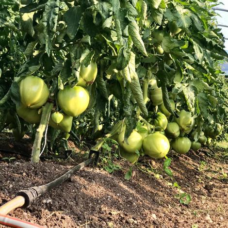 Noch grüne Tomaten