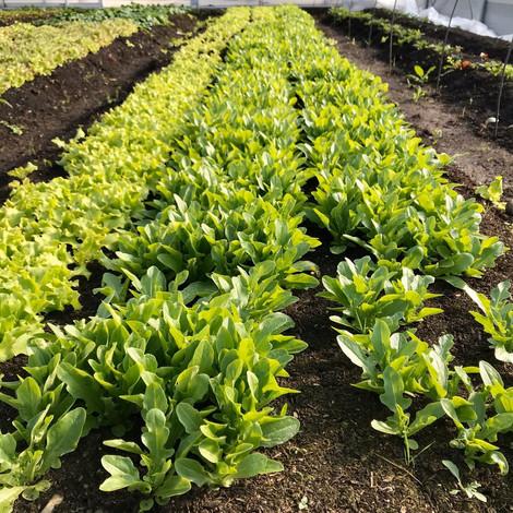 Baby Leaf Salat Cerbiatta und Batavia