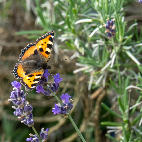 Schmetterling auf Lavendel