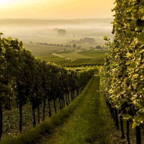 wine grape farm.jpg