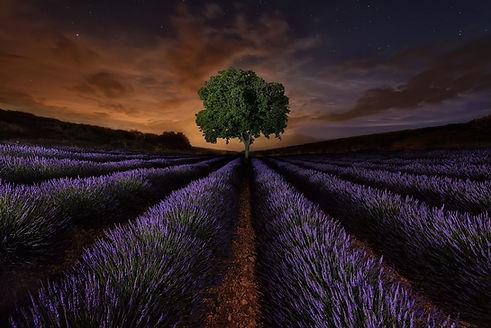 purpletree.jpg