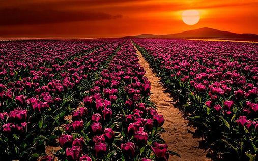 tulipspink.jpg