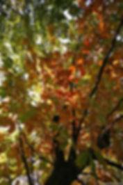 RJ Tree Service sunlit fall tree