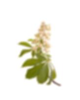 7. chesnut bud.png