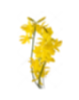 13. Gorse.png