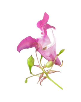 18. impatiens (impaciencia).png