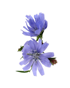 8. chicory.png