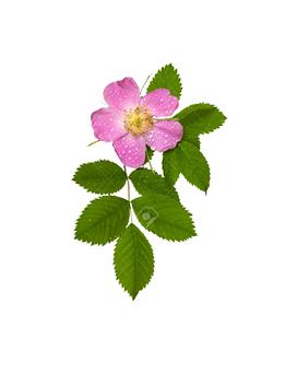 37. wild rose.png