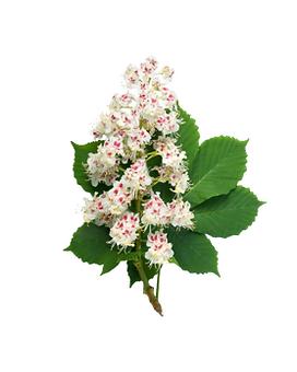 35. white chestnut.png